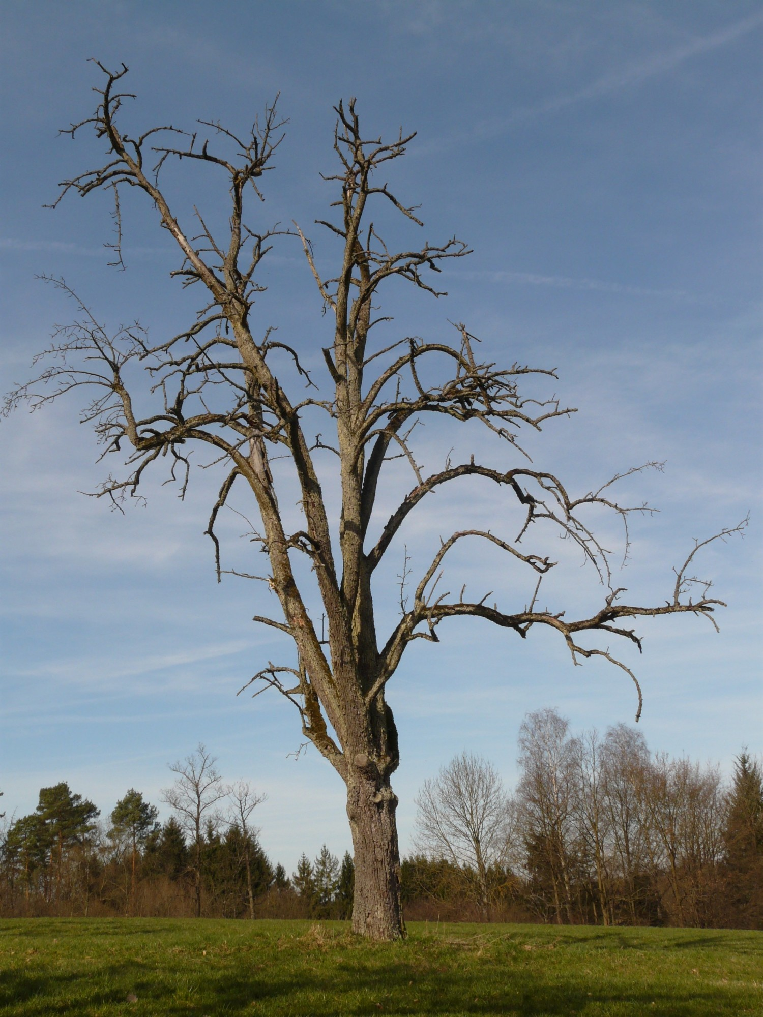 dying tree in field