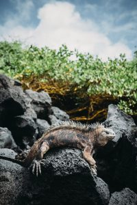 Galapagos Island iguana on rock